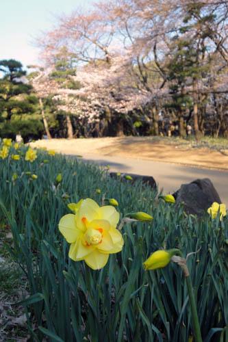 2011水仙と桜