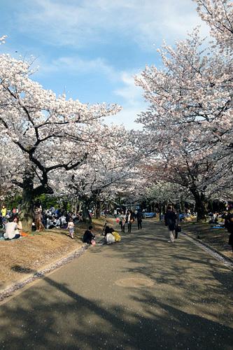 代々木公園の桜01