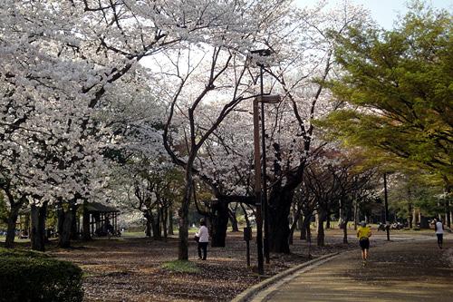 代々木公園の桜02