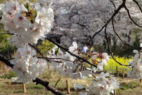代々木公園の桜04