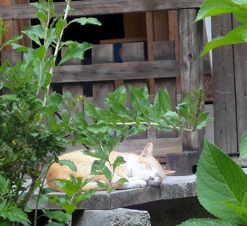 浄瑠璃寺の熟睡猫