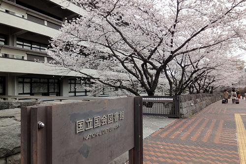 201303国会図書館前の桜