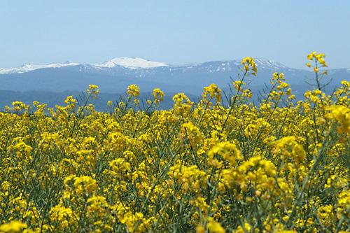 滝川江部乙の菜の花と雪山