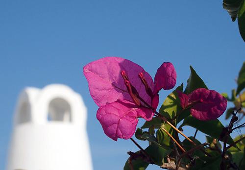 ギリシャ・サントリーニ島の花