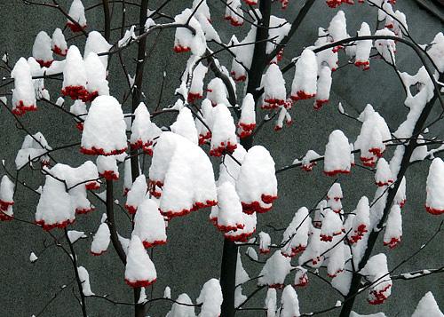 ななかまどの実に積もった雪