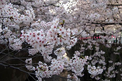 2015目黒川沿いの桜01