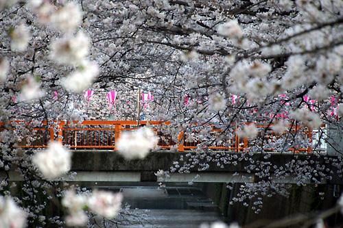 2015目黒川沿いの桜02.jpg