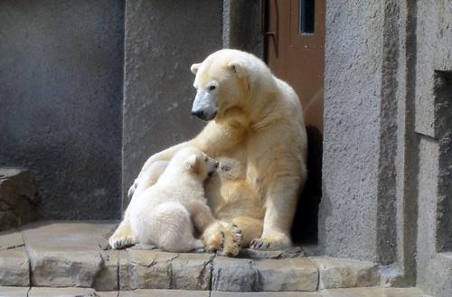 円山動物園のホッキョクグマ01.jpg
