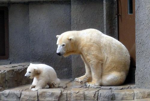 円山動物園のホッキョクグマ02.jpg