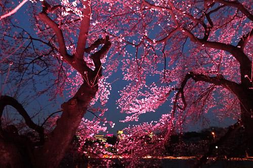 20160331千鳥ヶ淵の桜