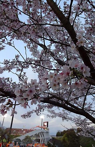 201704IAIスタジアム日本平の桜